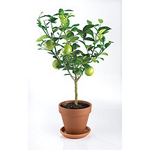 Patio Citrus Trees